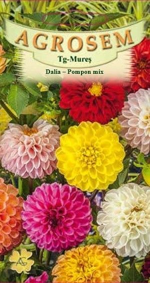 Seminte de Dalia Pompon mix - AS - Dahlia variabilis