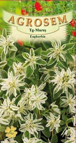 Seminte de Euphorbia - AS - Euphorbia marginata