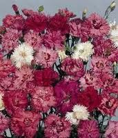 Dianthus plumarius Double Spring Joy mix G-9