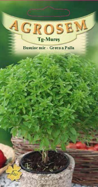 Seminte de Busuioc Greco a Palla - AS - Ocimum basilicum