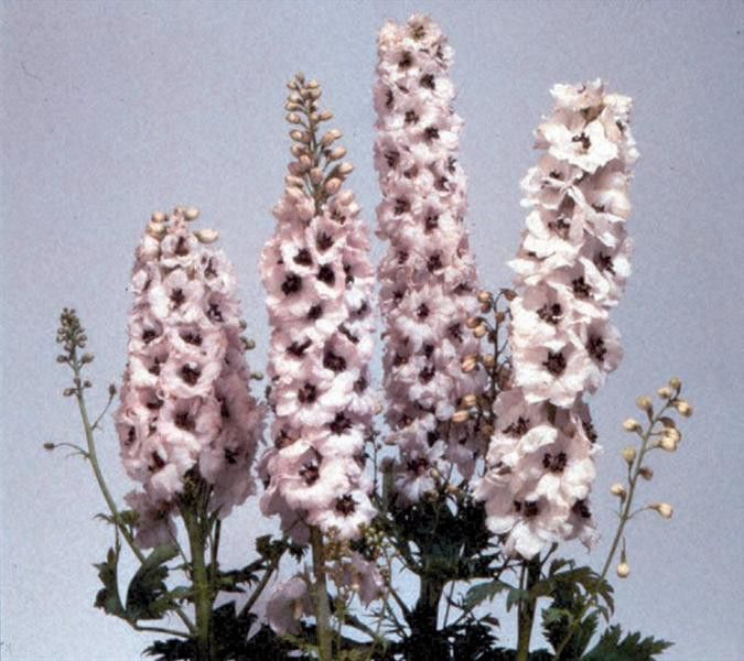Delphinium x cultorum Magic Fountain White Dark Bee G-9