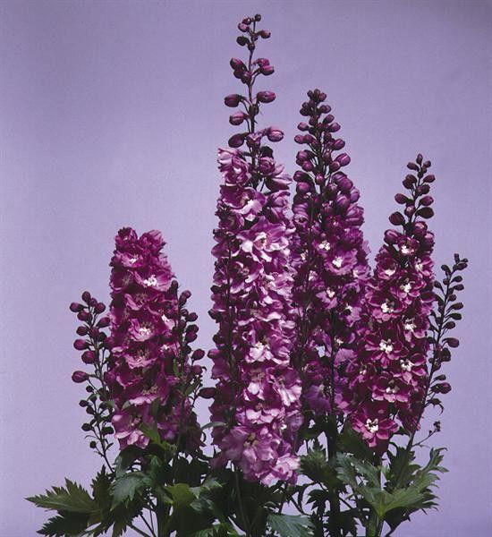 Delphinium x cultorum Magic Fountain Lilac-White G-9