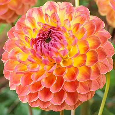 Dahlia pompon Lakeland Autumn - 1 bulb