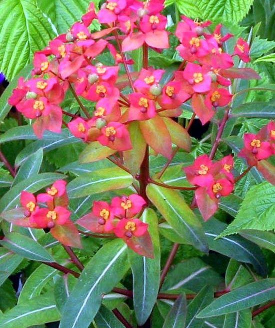 Euphorbia griffithii Fireglow G-9