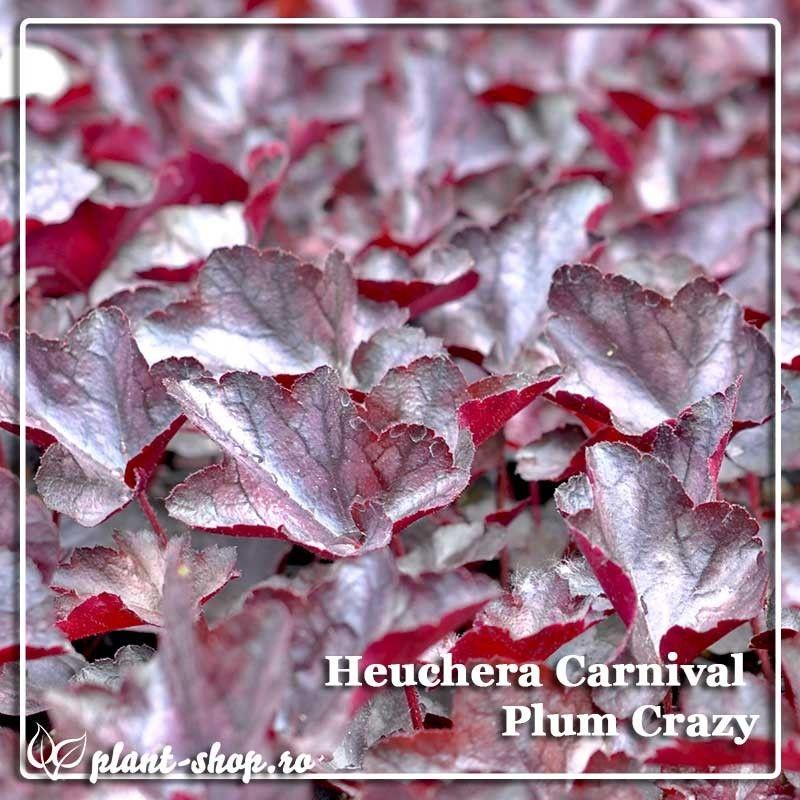 Heuchera Carnival Plum Crazy G-9
