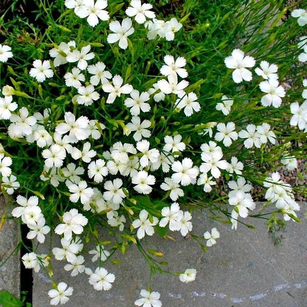 Dianthus deltoides White G-9