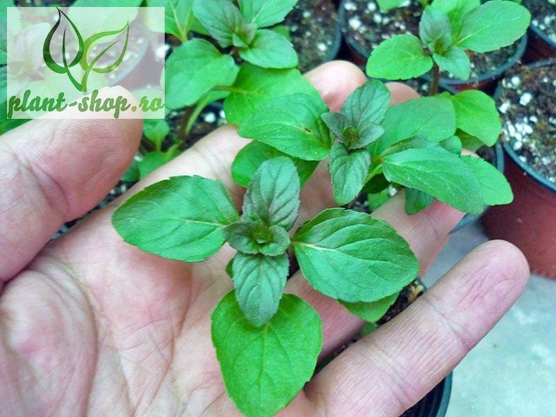 Mentha piperita citrata Lemon Fresh G-9