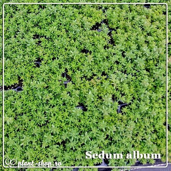 Sedum album Pachet de 10 plante