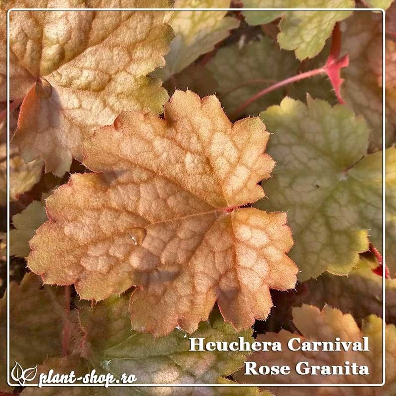 Heuchera Carnival Rose Granita G-9