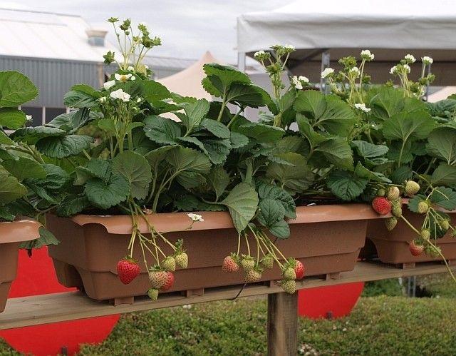 Fragaria ananassa Cupido F1 pachet 10 plante