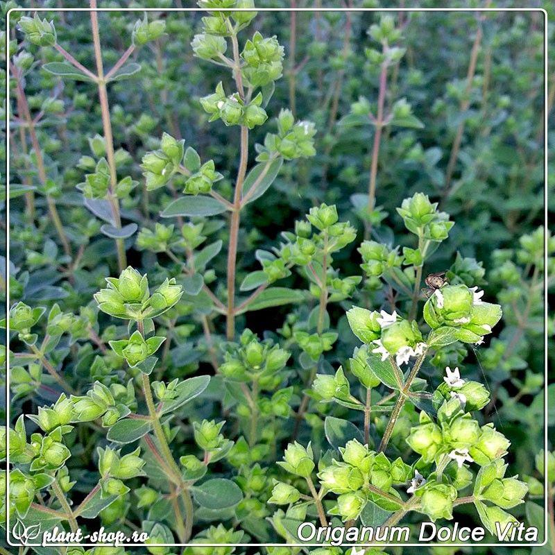 Origanum vulgaris Dolce Vita G-9