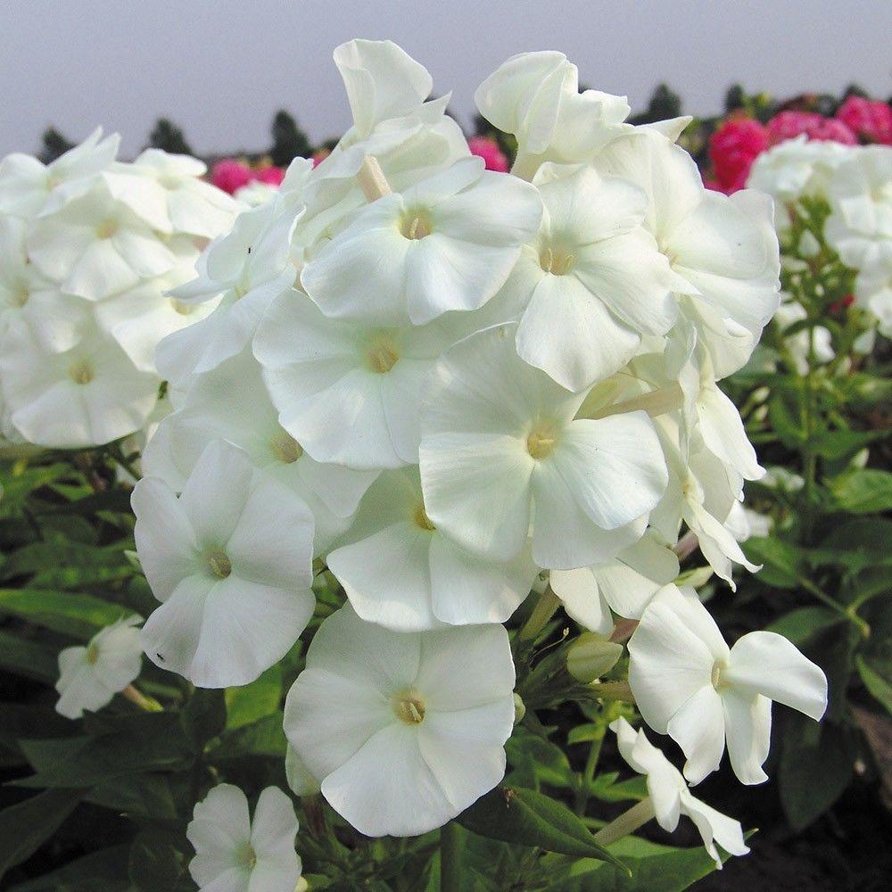 Phlox paniculata Adessa White G-9