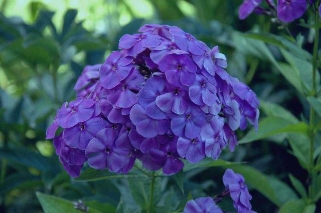 Phlox paniculata Adessa Special Deep Purple G-9