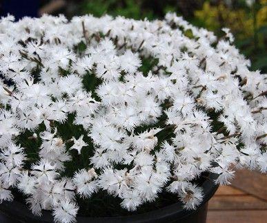 Dianthus arenarius G-9