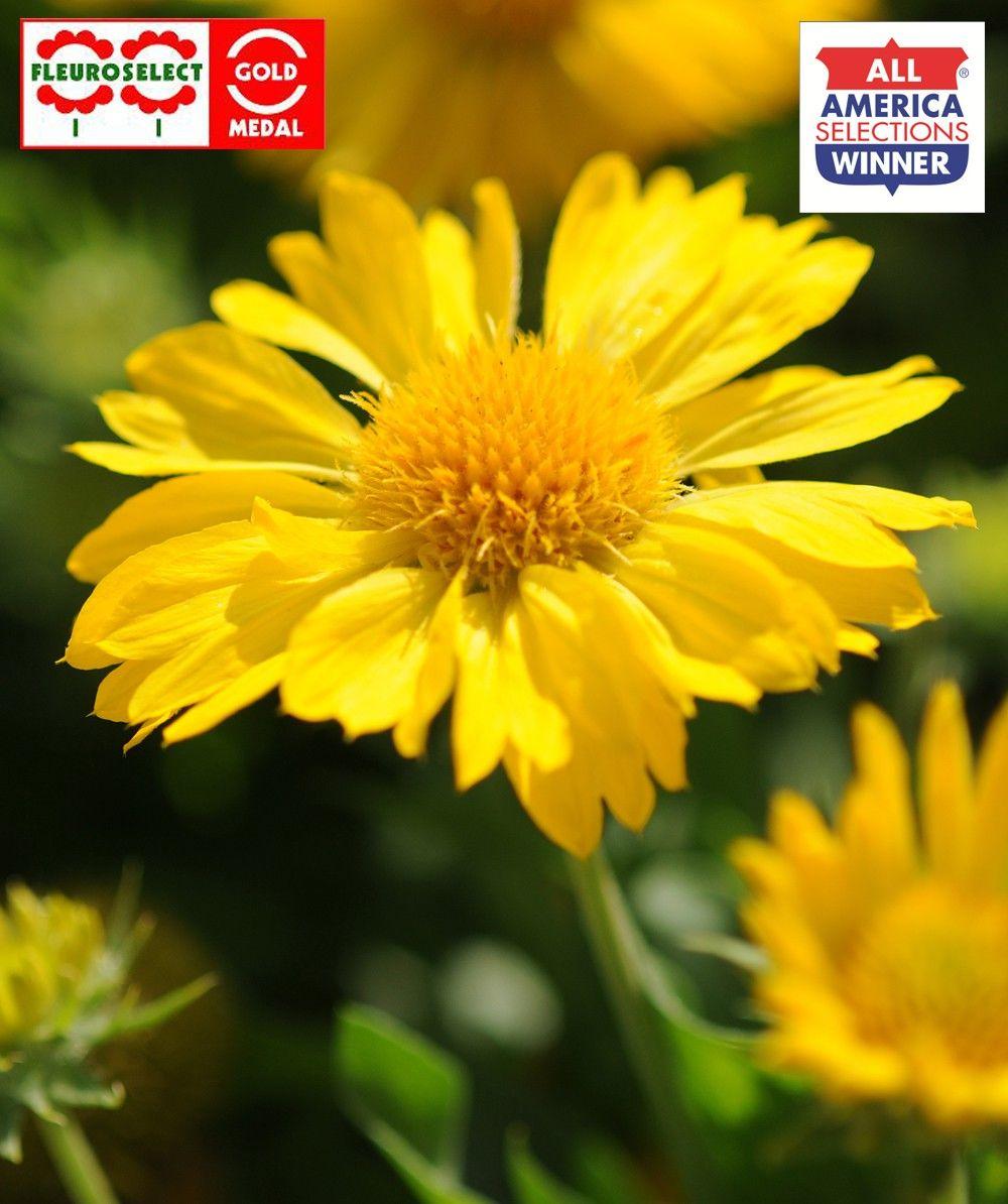 Gaillardia x grandiflora Mesa Yellow G-9