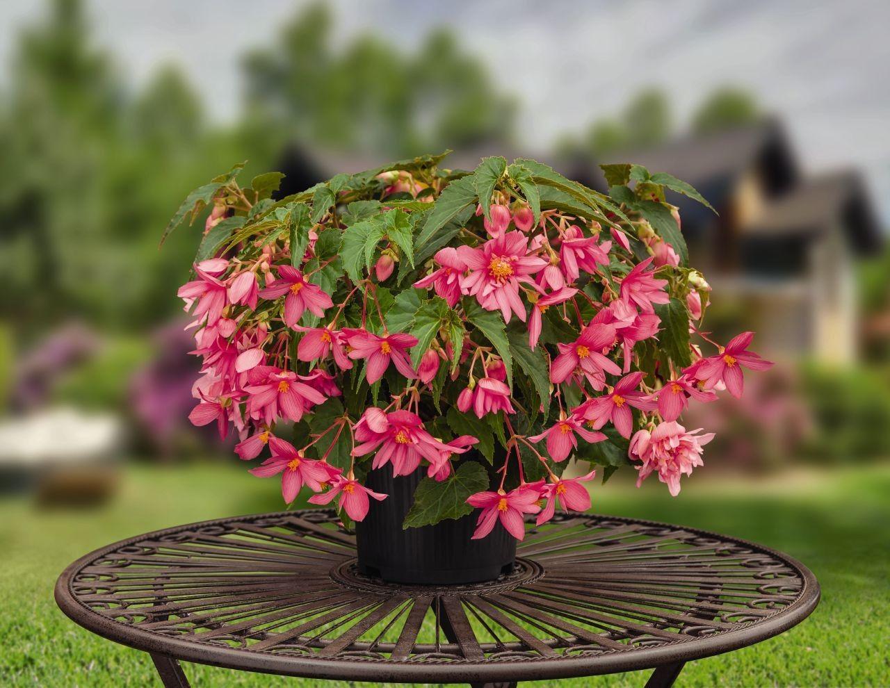 Seminte Begonia x hybrida Funky F1 Pink
