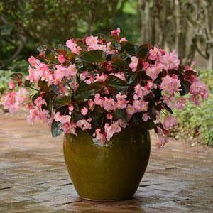 Seminte Begonia x hybrida Megawatt F1 Pink Bronze Leaf