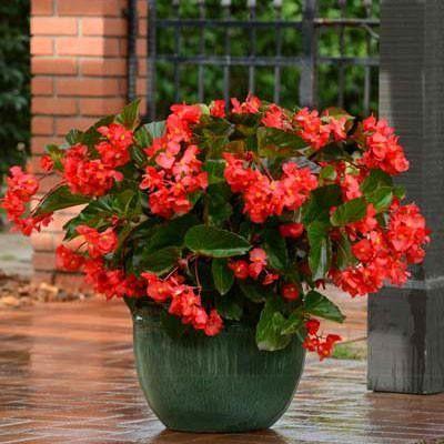 Seminte Begonia x hybrida Megawatt F1 Red Green Leaf