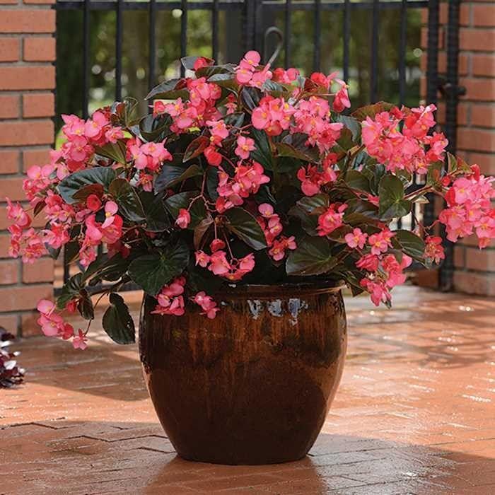 Seminte Begonia x hybrida Megawatt F1 Rose Bronze Leaf