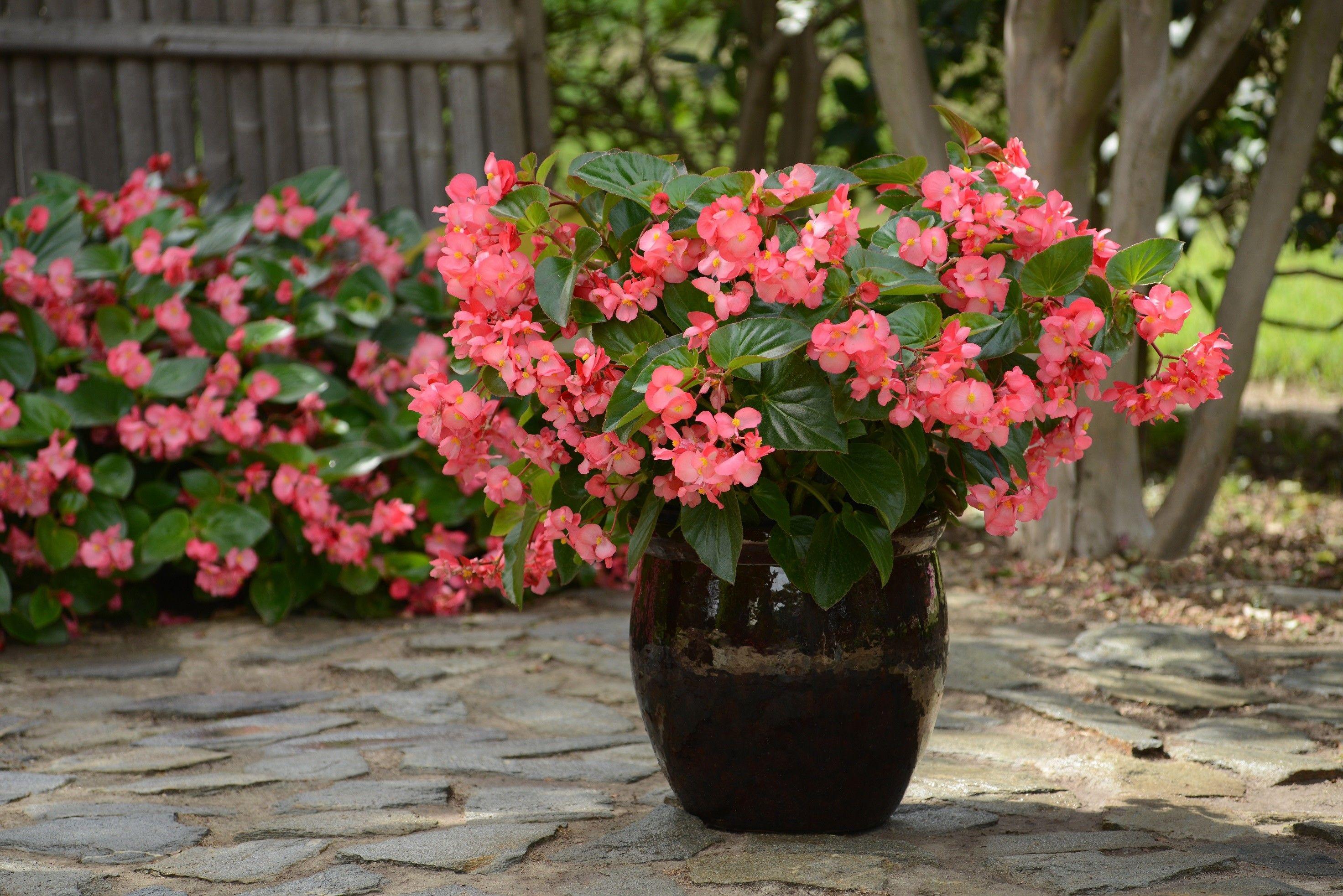 Seminte Begonia x hybrida Megawatt F1 Rose Green Leaf