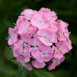 Seminte Dianthus barbatus Sweet F1 Pink