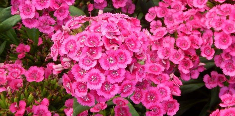 Seminte Dianthus hybrida Jolt F1 Pink