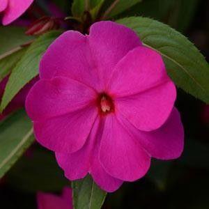 Seminte Impatiens new guinea Divine F1 Orchid