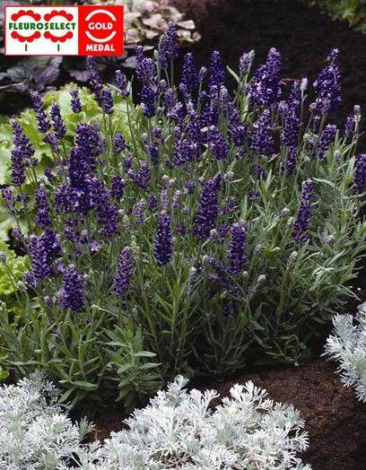 Lavandula angustifolia Ellagance Purple G-9