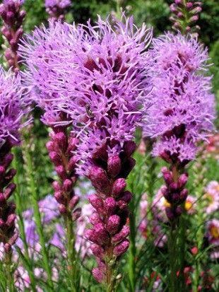 Liatris spicata Floristan Violet G-9