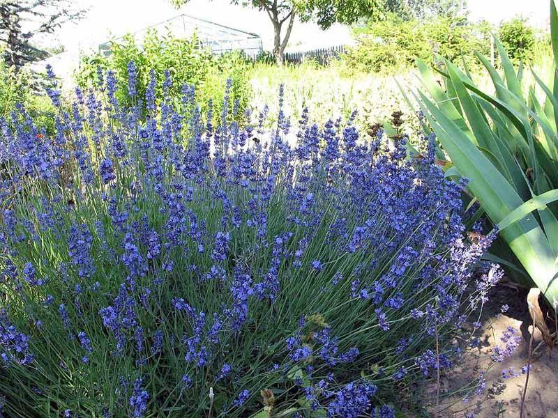 """Lavandula angustifolia """"Hidcote Blue Strain"""""""