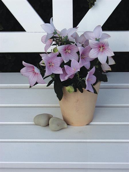 Platycodon grandiflora Astra Rose G-9