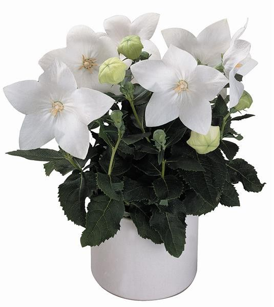 Platycodon grandiflora Astra White G-9