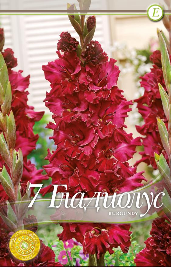 Gladiole bulbi Burgundy - 7 bulbi