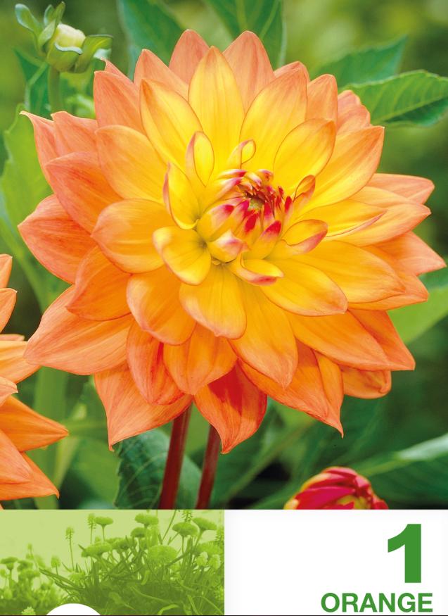 Dahlia decorative border Orange - 1 bulb