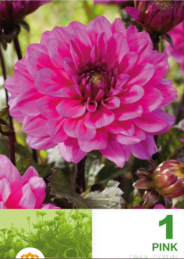 Dahlia decorative border Pink - 1 bulb