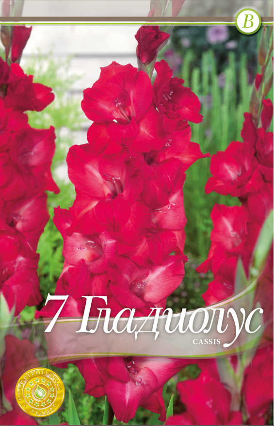 Gladiole bulbi Cassis - 7 bulbi