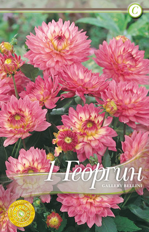 Dahlia decorative border Gallery Bellini - 1 bulb