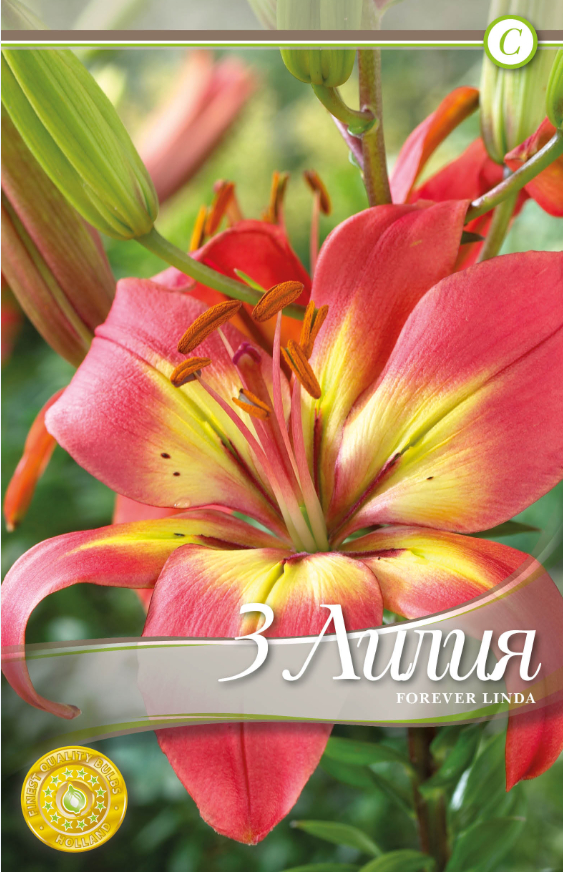 Bulbi de crini - Lilium asiatic Forever Linda - 3 bulbi