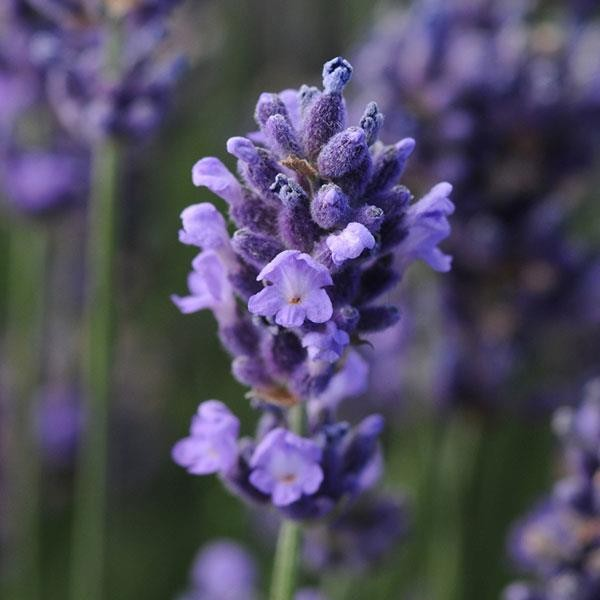Lavandula angustifolia Superblue G-9