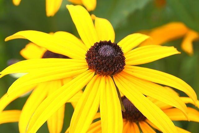 Pachet 9 plante - Rudbeckia fulgida 'Goldsturm'