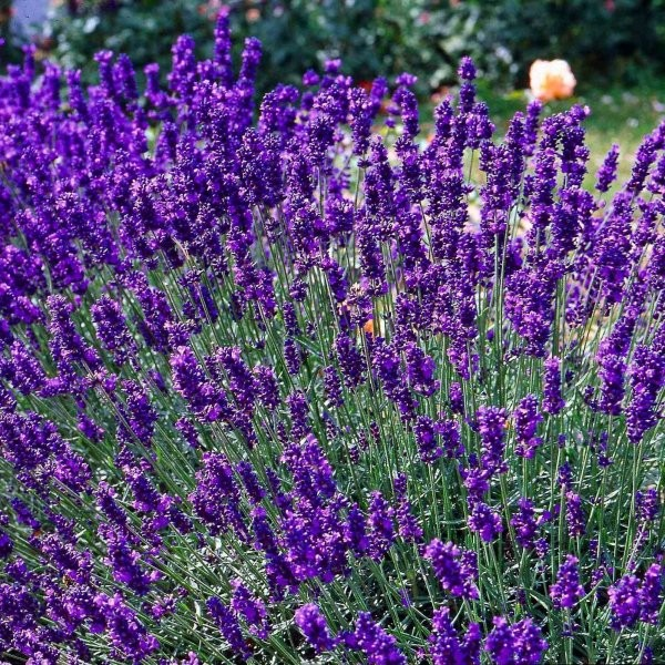 Lavandula angustifolia Early Hidcote G-9