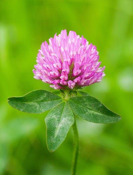 Seminte deTrifoi rosu 1 kg - AS - Trifolium pratense