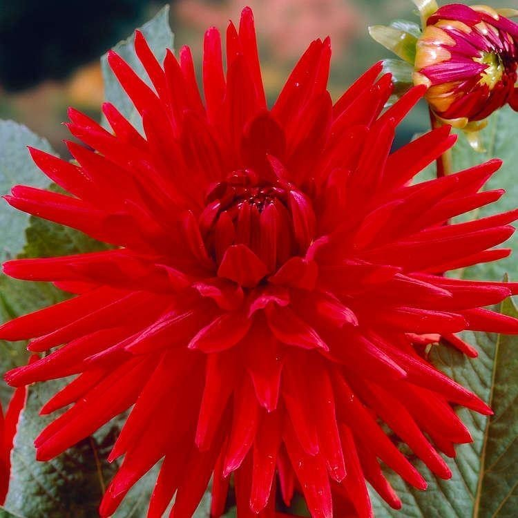 Dahlia cactusi Red Pigmy