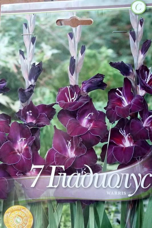 Gladiole bulbi Warris - 7 bulbi