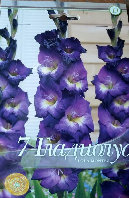 Gladiole bulbi Lola Montez - 7 bulbi
