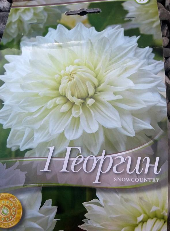 Dahlia decorative Snowcountry - 1 bulb