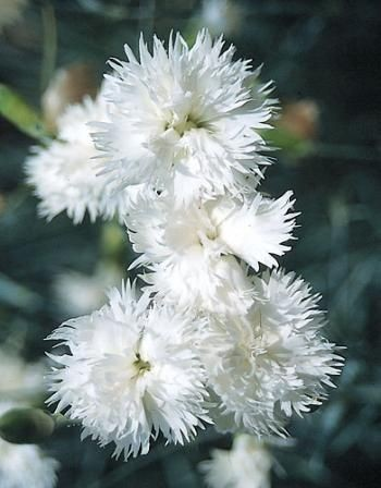 Dianthus plumarius Double White G-9