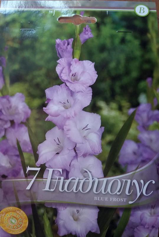 Gladiole bulbi Blue Frost - 7 bulbi