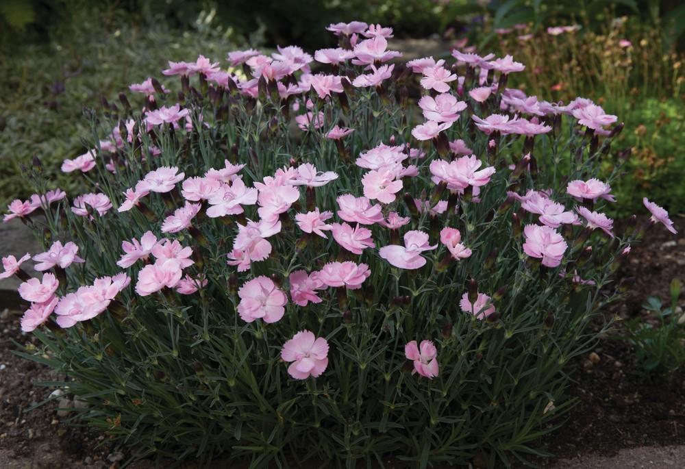 Dianthus hybrida Dinetta Soft Pink G-9