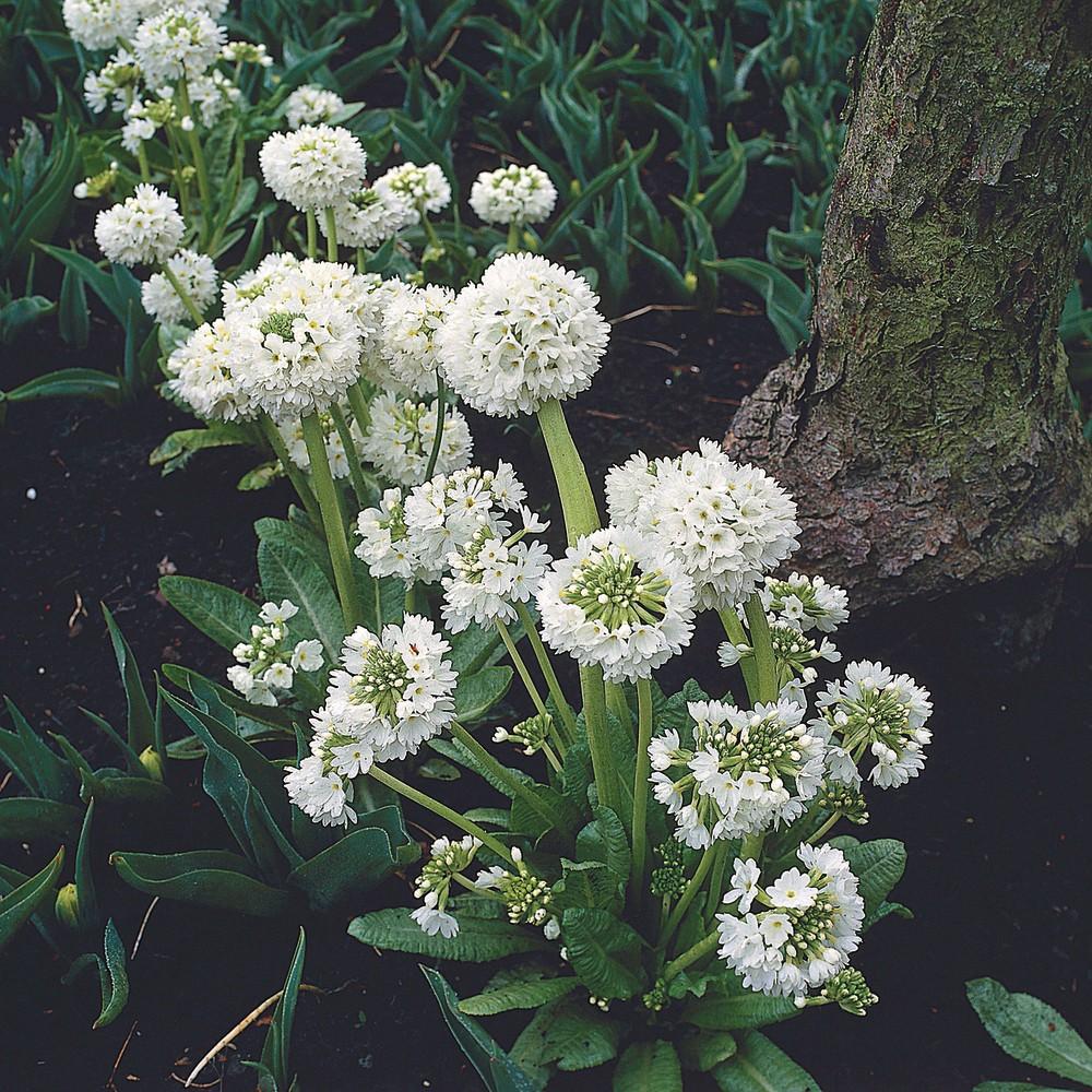 Primula denticulata Prom White G-9